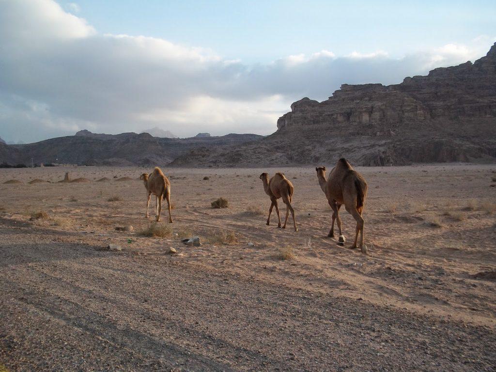 camellos desierto wadi rum