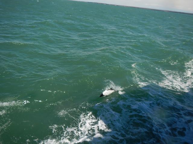 tonina estrecho Magallanes